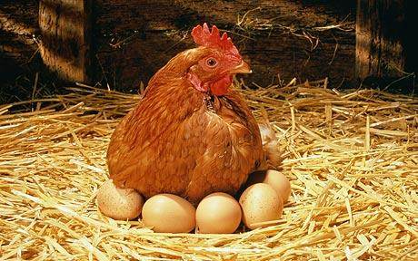 chicken and egg farming 5