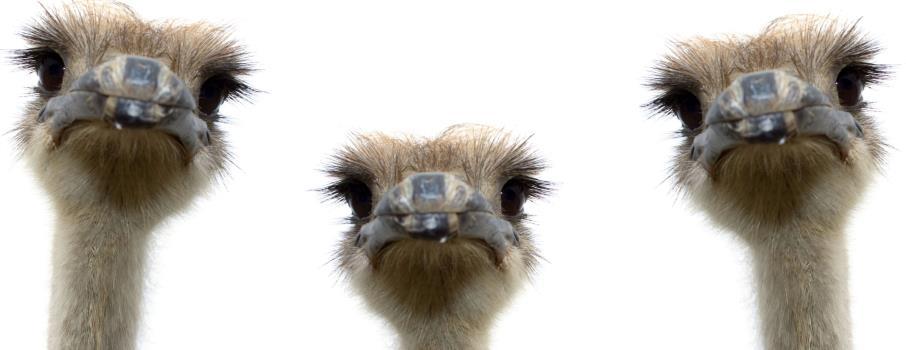 Ostrich farming in Africa