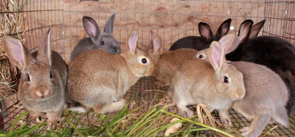 1.1 A Rabbit farming in Africa 5