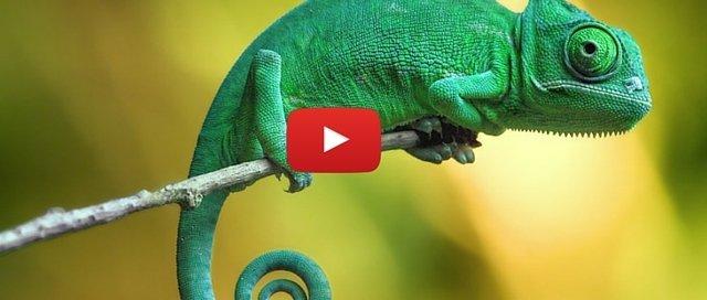 Chameleon Farming in Kenya (2)