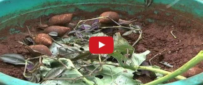 Snail farming in East Africa -- Meet Rosemary, Kenya's Top Snail Farmer