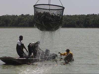 Fish farming harvesting fish