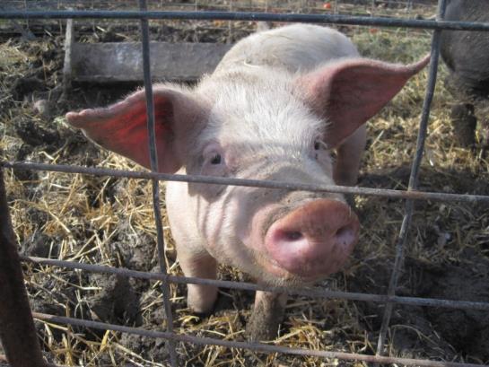 1.pig farming in Africa 3