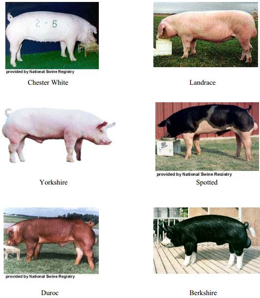 1.pig farming in Africa_breed varieties