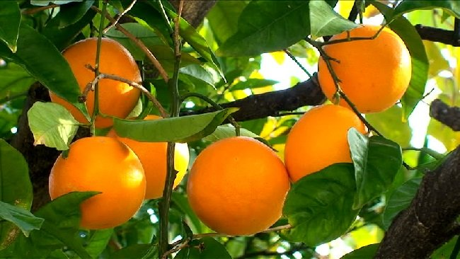 Tropical Fruits Africa S Real Diamonds Are Not Hidden In The