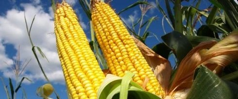 Maize Production – An Interesting Small Business Opportunity You