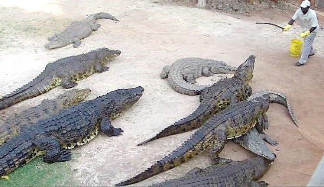 Crocodile farming in Africa _ 4
