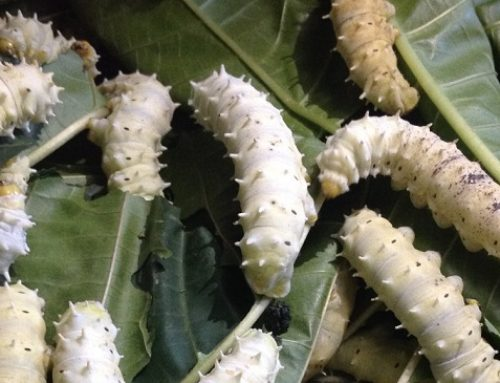 The Business of Silkworm farming: A Fibre-to-Fabric Success Story from Kenya